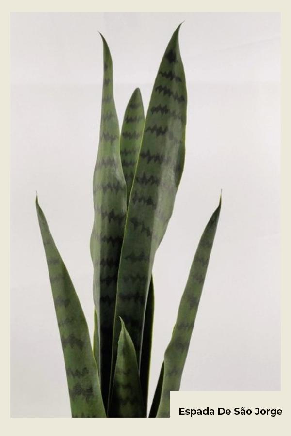 Espada de seu jorge - planta  - planta - Inverno - Em casa - https://stealthelook.com.br
