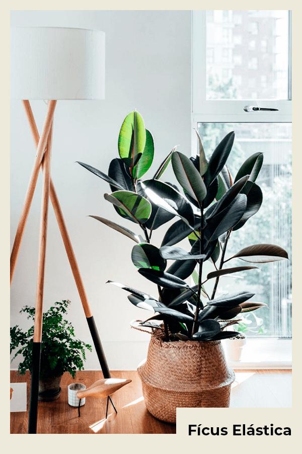 Fícus Elástica - planta  - planta - verão - Em casa - https://stealthelook.com.br